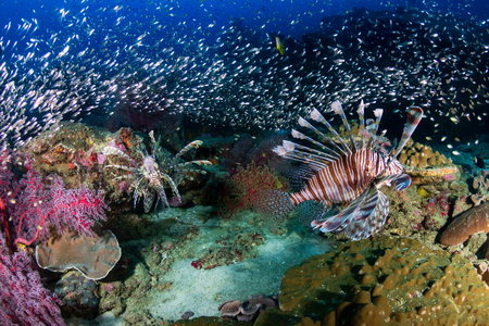 Beautiful Lionfish on a colorful tropical coral reef