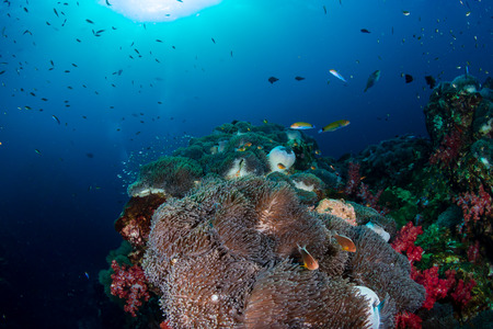 A beautiful tropical coral reef in the Coral Triangle