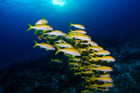 Colorful tropical fish on a coral reef at sunrise