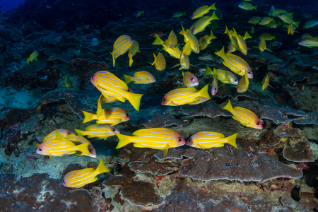 A school of colorful Blue-Stripe Snapper amongst hard coral on a tropical reef