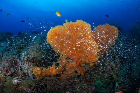 Tropical fish on a beautiful, colorful coral reef in the Similan Islands Stock Photo
