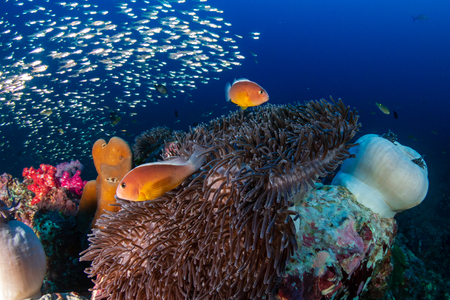 Beautiful Skunk Clownfish on a colorful tropical coral reef (Richelieu Rock)