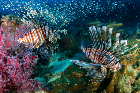 Multiple colorful Lionfish (Pterois Miles) and soft corals on a tropical reef at sunset (Koh Tachai, Thailand)