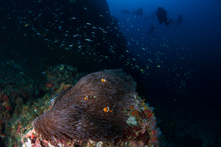 Family of Clownfish and background SCUBA divers on a coral reef