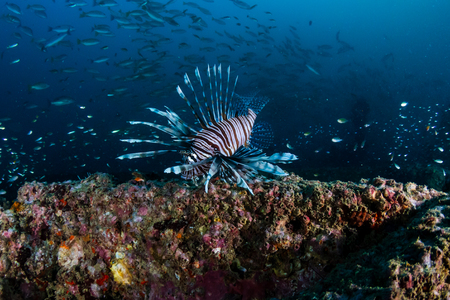 Lionfish around an underwater shipwreck in a tropical ocean Stock Photo