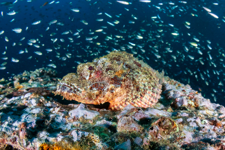 Scorpionfish on an underwater shipwreck in a tropical ocean