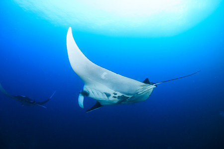 Multiple large Oceanic Manta Rays (Manta birostris) in a clear blue water over a tropical coral reef Standard-Bild