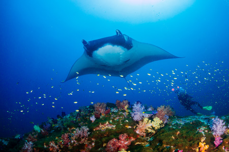 Huge Oceanic Manta Ray (Manta birostris) over a colorful tropical coral reef with a underwater photographer behind