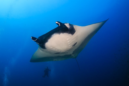 Large Oceanic Manta Ray with a background SCUBA diver on a coral reef