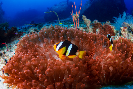 Banded Clownfish on a beautiful red anemone on a tropical coral reef 免版税图像