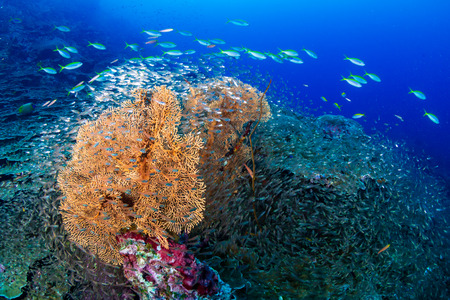 Large delicate seafans on a tropical coral reef Archivio Fotografico
