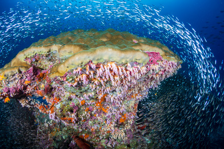 A beautiful, colorful coral pinnacle on a tropical reef (Koh Bon, Similan National Park) Banque d'images