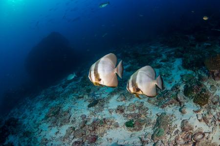 Batfish on a dark, gloomy tropical coral reef