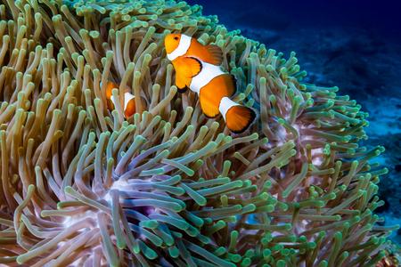 Para błazenków w ich domowym anemonie na tropikalnej rafie koralowej
