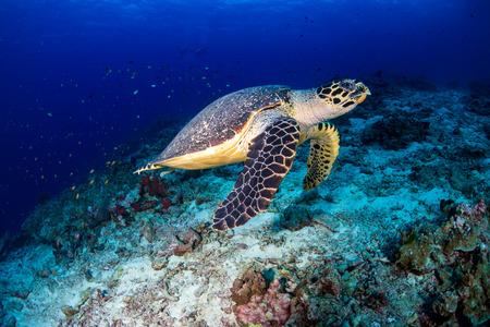 Tartaruga embricata nuota lungo una barriera corallina tropicale all'alba Archivio Fotografico