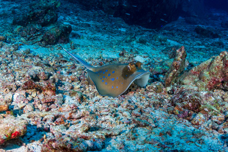 Kuhl's Stingray on a sandy seabed near a coral reef