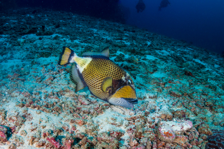 Large Titan Triggerfish feeding on a tropical coral reef at dawn