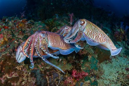 Accouplement de seiches sur un récif de corail tropical au lever du soleil (Richelieu Rock)