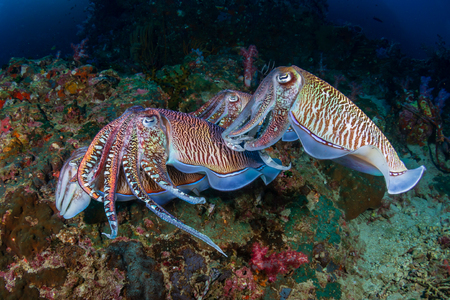 Mating Cuttlefish on a tropical coral reef at sunrise (Richelieu Rock) Imagens