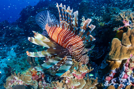 Colorful Lionfish patrolling a tropical coral reef at sunrise Stock Photo