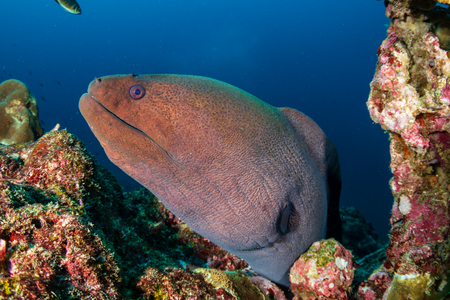 Giant Moray Eel hidden in a hole in a tropical coral reef 免版税图像