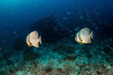 Batfish sur un récif de corail tropical sombre et sombre