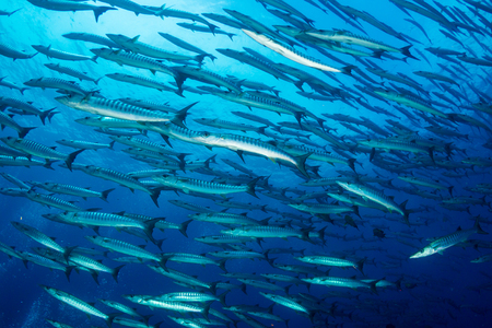 A school of Barracuda in blue water above a tropical coral reef Archivio Fotografico