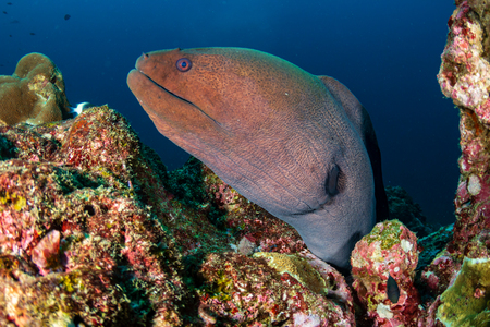 Giant Moray Eel hidden in a hole in a tropical coral reef Reklamní fotografie - 120889595