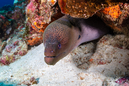 Giant Moray Eel hidden in a hole in a tropical coral reef Reklamní fotografie - 120889668