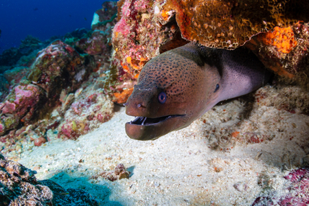 Giant Moray Eel hidden in a hole in a tropical coral reef Reklamní fotografie