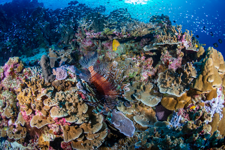 Colorful Lionfish patrolling a tropical coral reef at sunrise 版權商用圖片 - 120889731