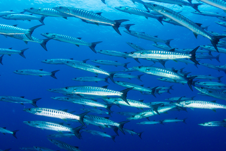 A school of Barracuda in blue water above a tropical coral reef Stock Photo