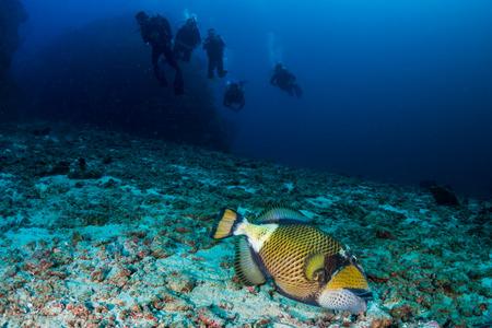 Large Titan Triggerfish feeding on a tropical coral reef at dawn