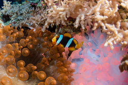Banded Clownfish on a beautiful red anemone on a tropical coral reef Stockfoto