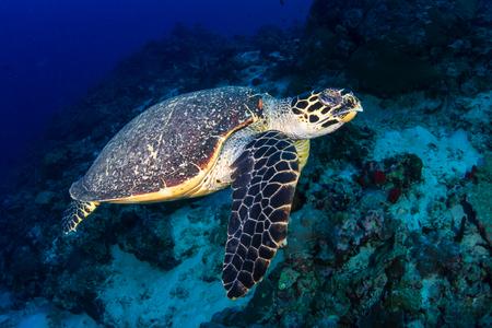 Tortuga carey nadando a lo largo de un arrecife de coral tropical al amanecer.