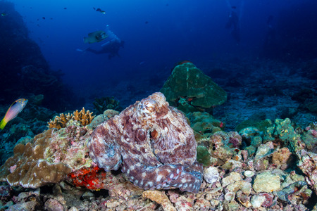 Large Octopus on a tropical coral reef (Richelieu Rock) Archivio Fotografico