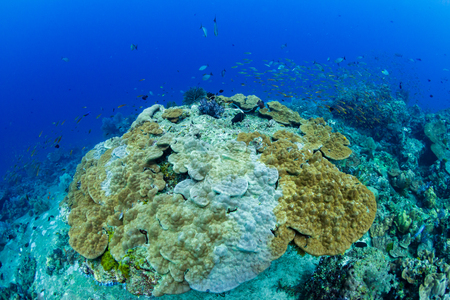 A large, damaged hard coral on a tropical reef Stock Photo