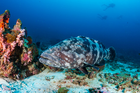 Large Malabar Grouper on the sea floor on a dark tropical coral reef