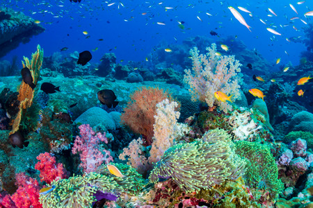 Colorful tropical fish on a coral reef in the Andaman Sea