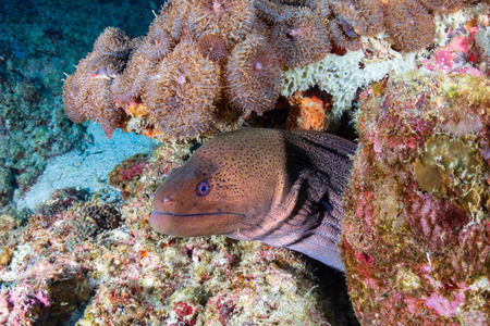 Large Giant Moray Eel in a hole on a colorful tropical coral reef Reklamní fotografie