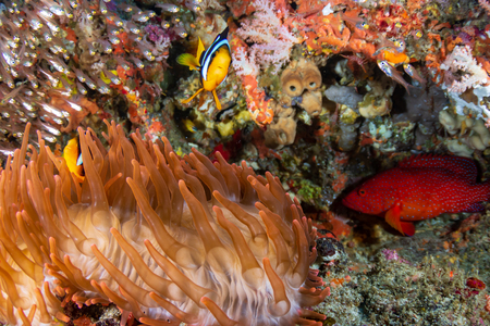 Colorful banded Clownfish on a red anemone on a coral reef