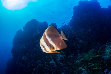 Großer Fledermausfisch (Spadefish) an einem tropischen Korallenriff in Thailand