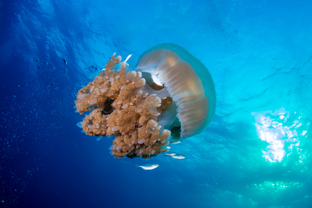 A large Rhizostoma Jellyfish in a blue ocean