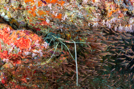 Large Spiny Lobster in a hole on a tropical coral reef