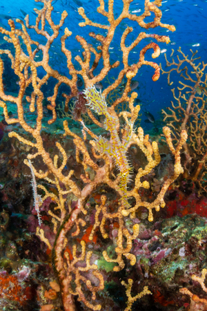 Delicate and beautiful Ornate Ghost Pipefish on a tropical coral reef (Richelieu Rock, Thailand) Stock Photo