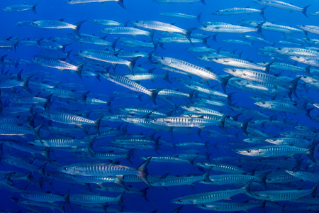 A swirling tornado of schooling Barracuda in a blue water tropical ocean 免版税图像