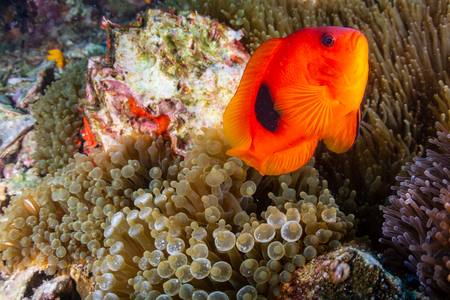Beautful Saddleback Tomato Clownfish on an asian tropical coral reef Stockfoto