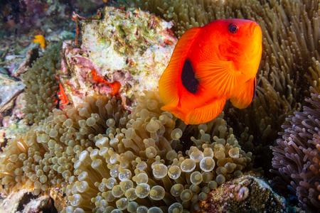Piękny Błazenek Pomidorowy Saddleback na tropikalnej rafie koralowej w Azji Zdjęcie Seryjne
