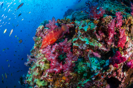 Colorful Coral Grouper on a tropical coral reef