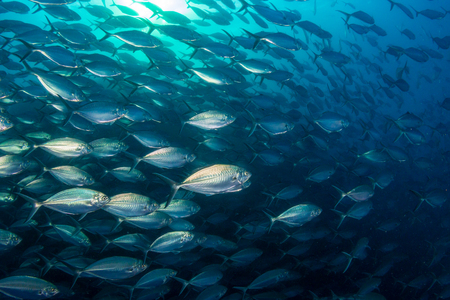 Schooling Trevally and Jacks in the ocean above Richelieu Rock, Thailand Stock Photo